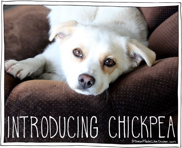 Introducing Chickpea – My New Pooch!