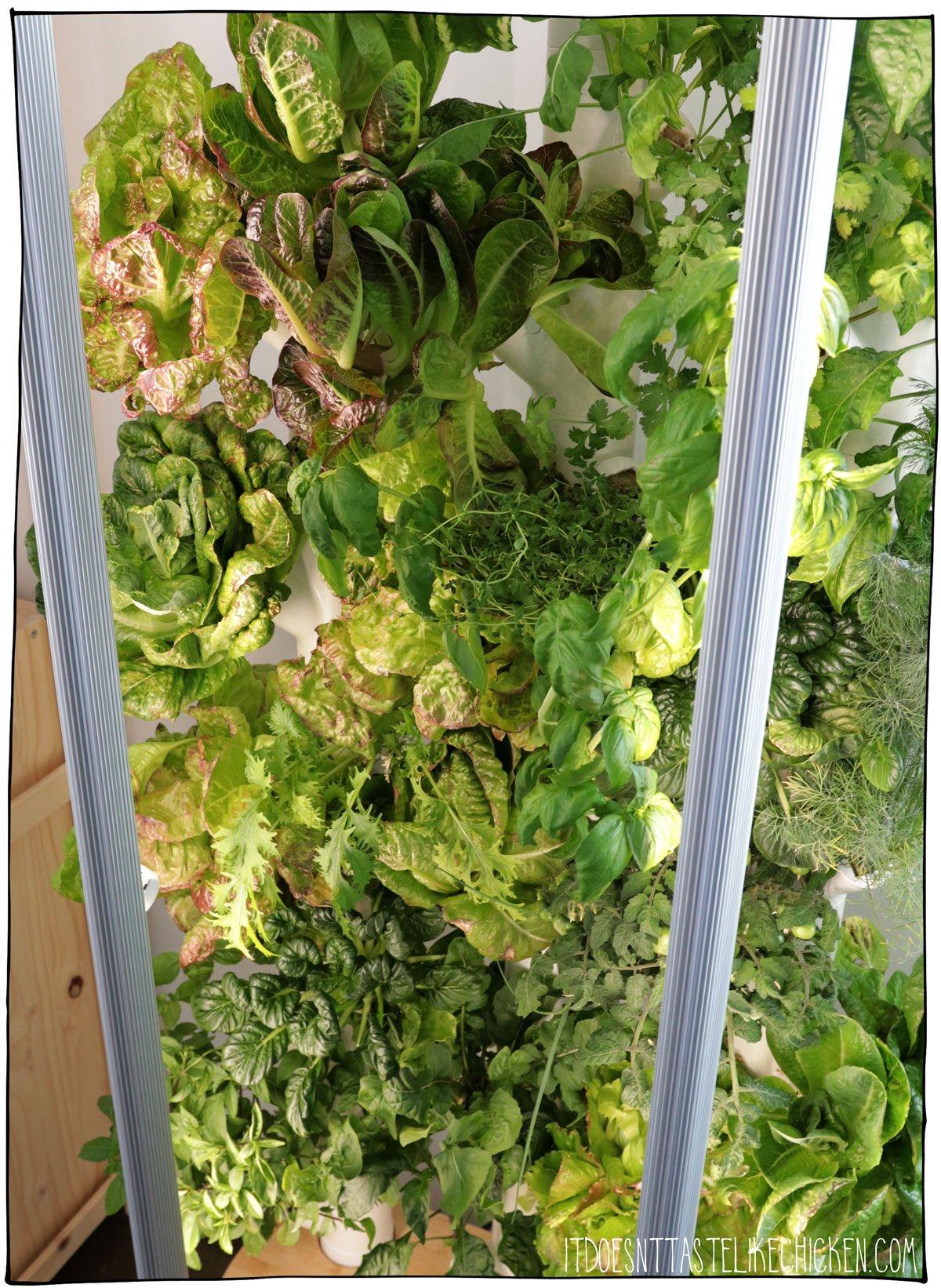 Indoor garden with lettuce, and herbs. The easiest veggie garden to grow, love my Gardyn!